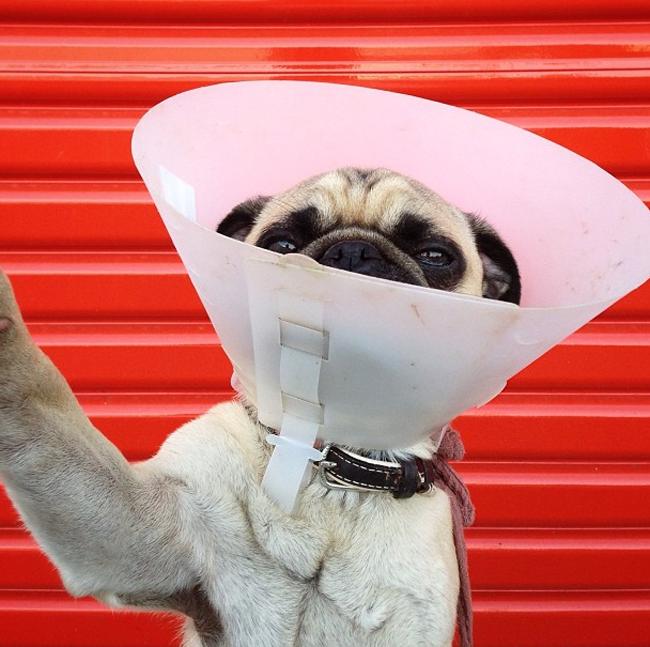 Pug in cone selfie