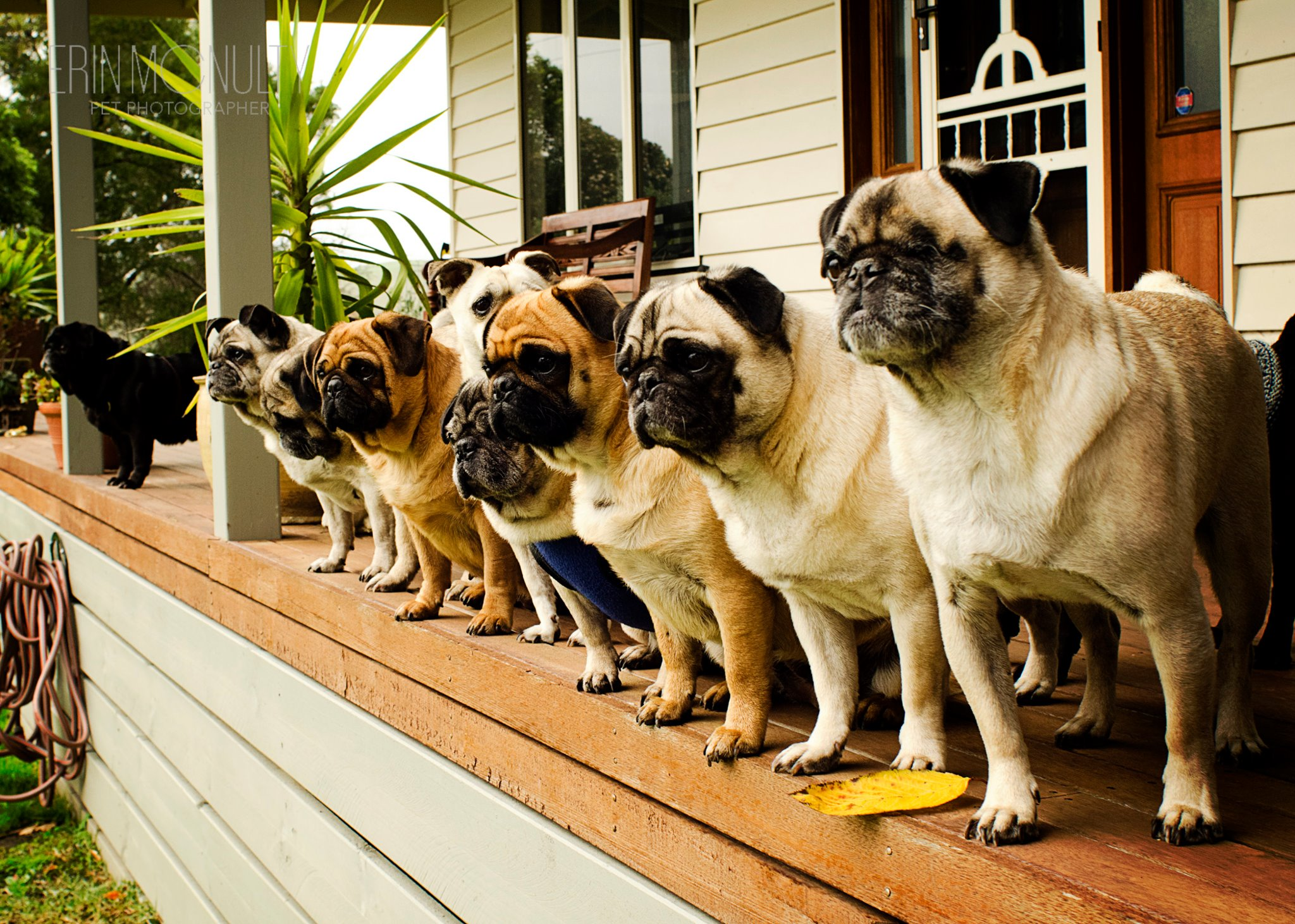 There's Heaven On Earth and It's Filled With Pugs