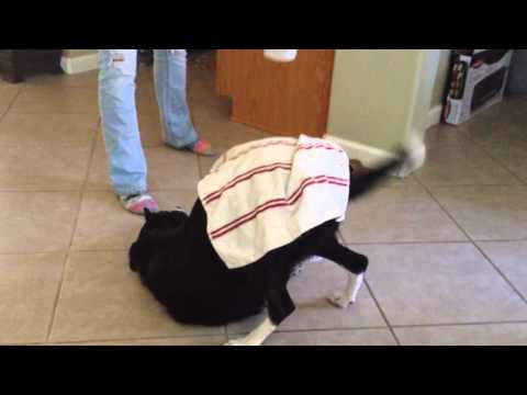 Need a Table? This Border Collie Can Help!