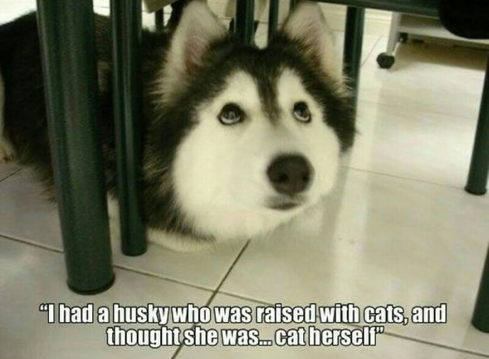 A husky raised by a cat