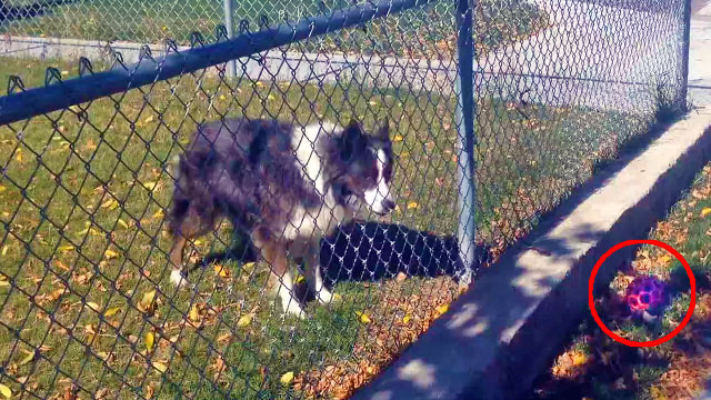 Clever dog tricked man into playing a game of fetch