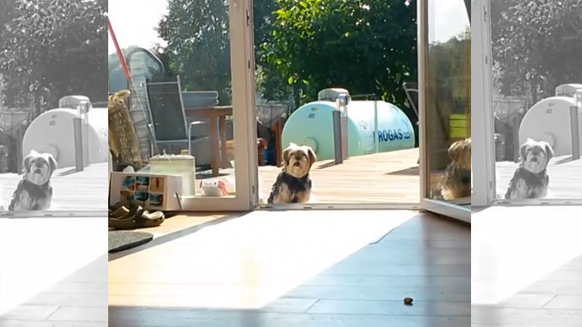 Dog thinks terrace door is closed and wouldn't come inside until owner opens invisible door