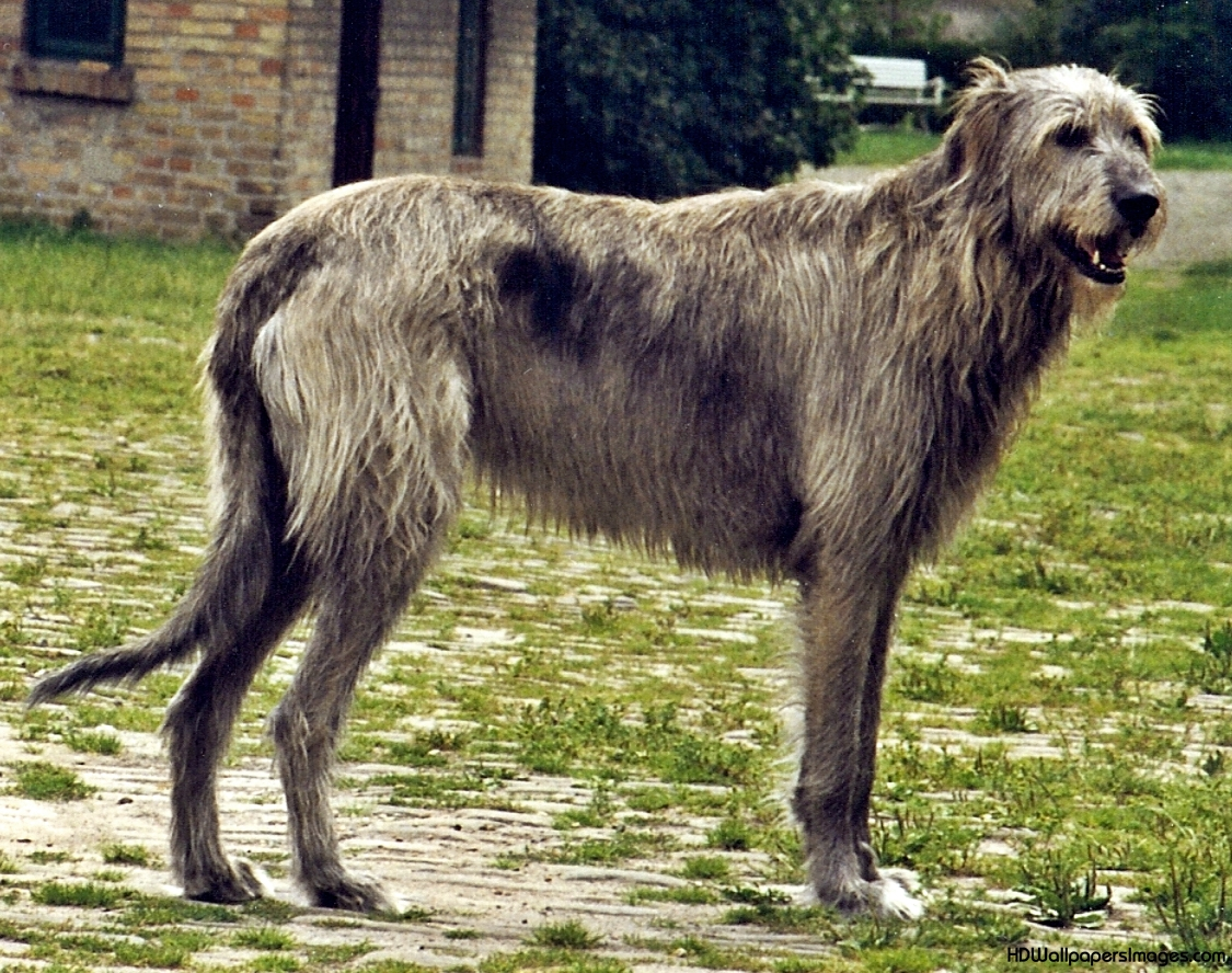 10 Interesting Facts About Irish Wolfhounds - Three Million Dogs