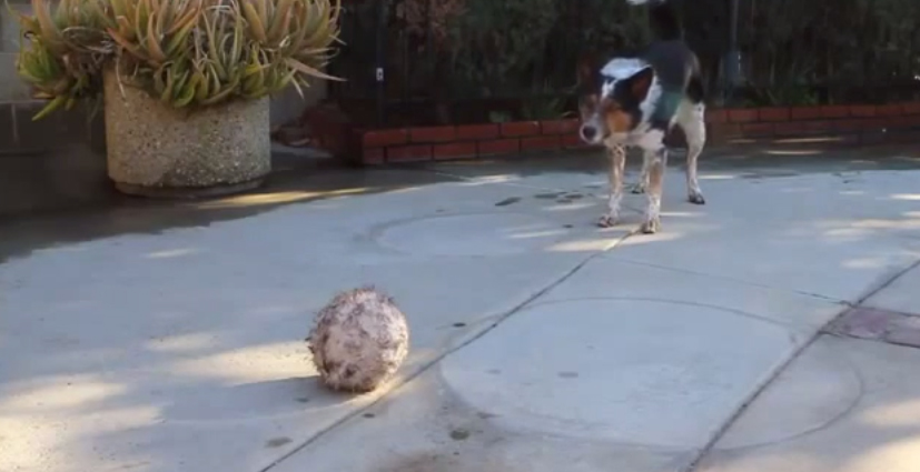 Incredibly well trained dog, wait till he finally gets his ball
