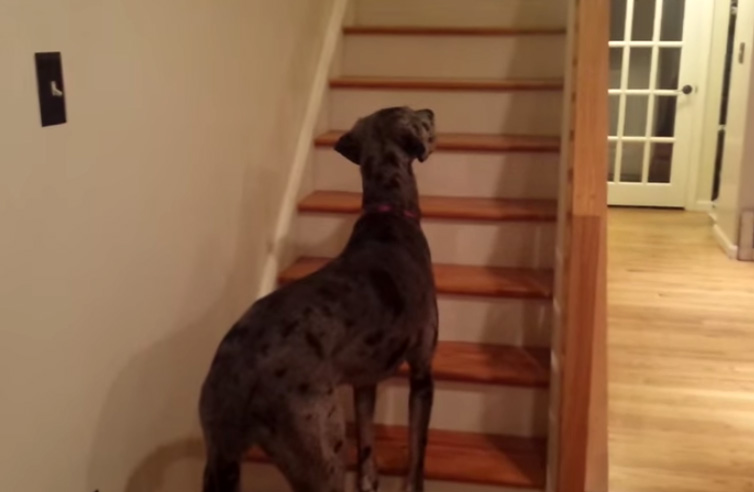 Great Dane's reaction to her owner's Halloween Costume is hilarious
