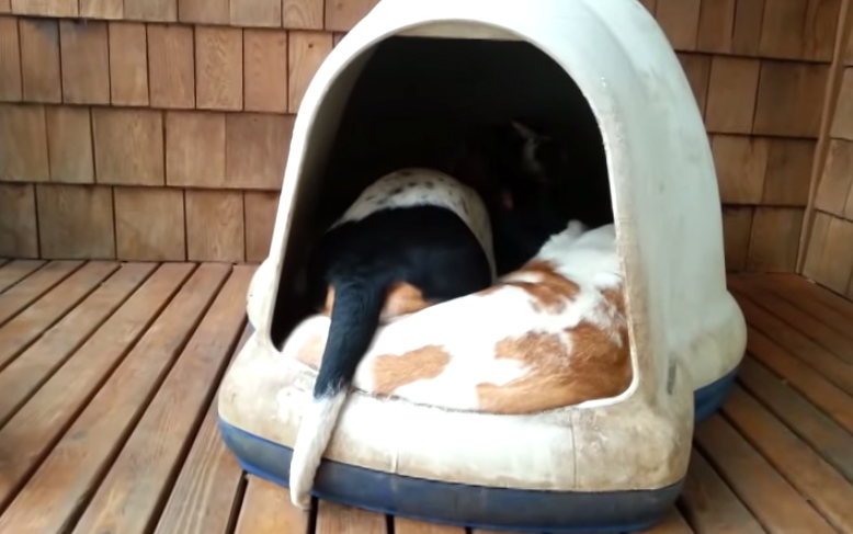 How Many Basset Hounds Can Fit Into An Igloo?