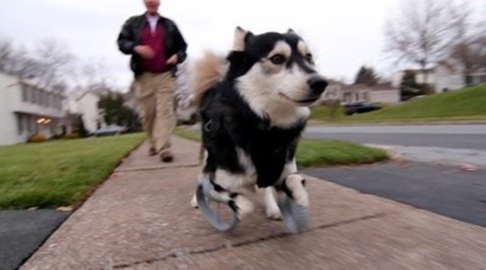 Derby the Dog Runs For the First Time With 3D Printed Prosthetics