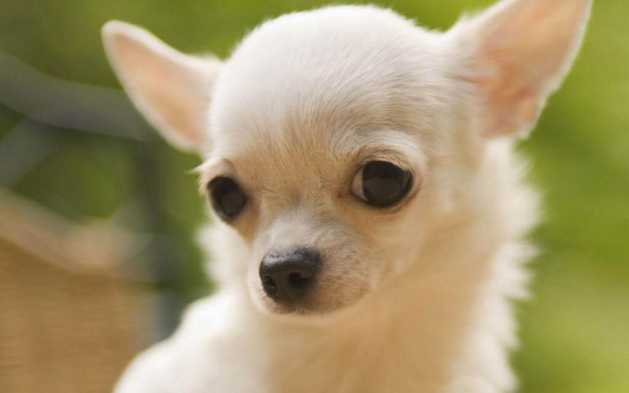 Baby Chihuahuas Ready Now | Southend On Sea, Essex