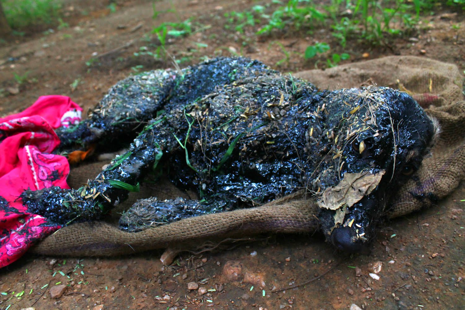 Covered in tar and unable to move, this amazing rescue saved this dog's life