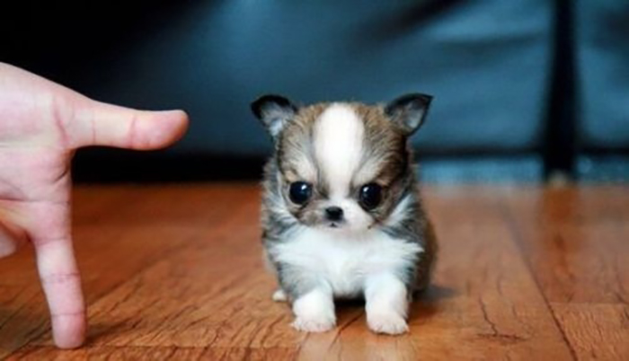 11 Tiny Dogs That Barely Look Like Dogs.