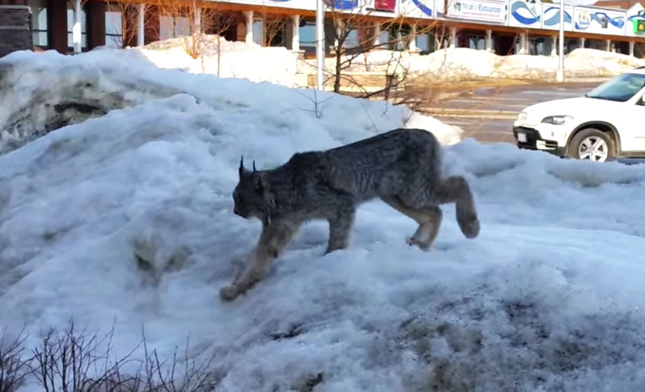 Canadian Woman Calls Wild Lynx To