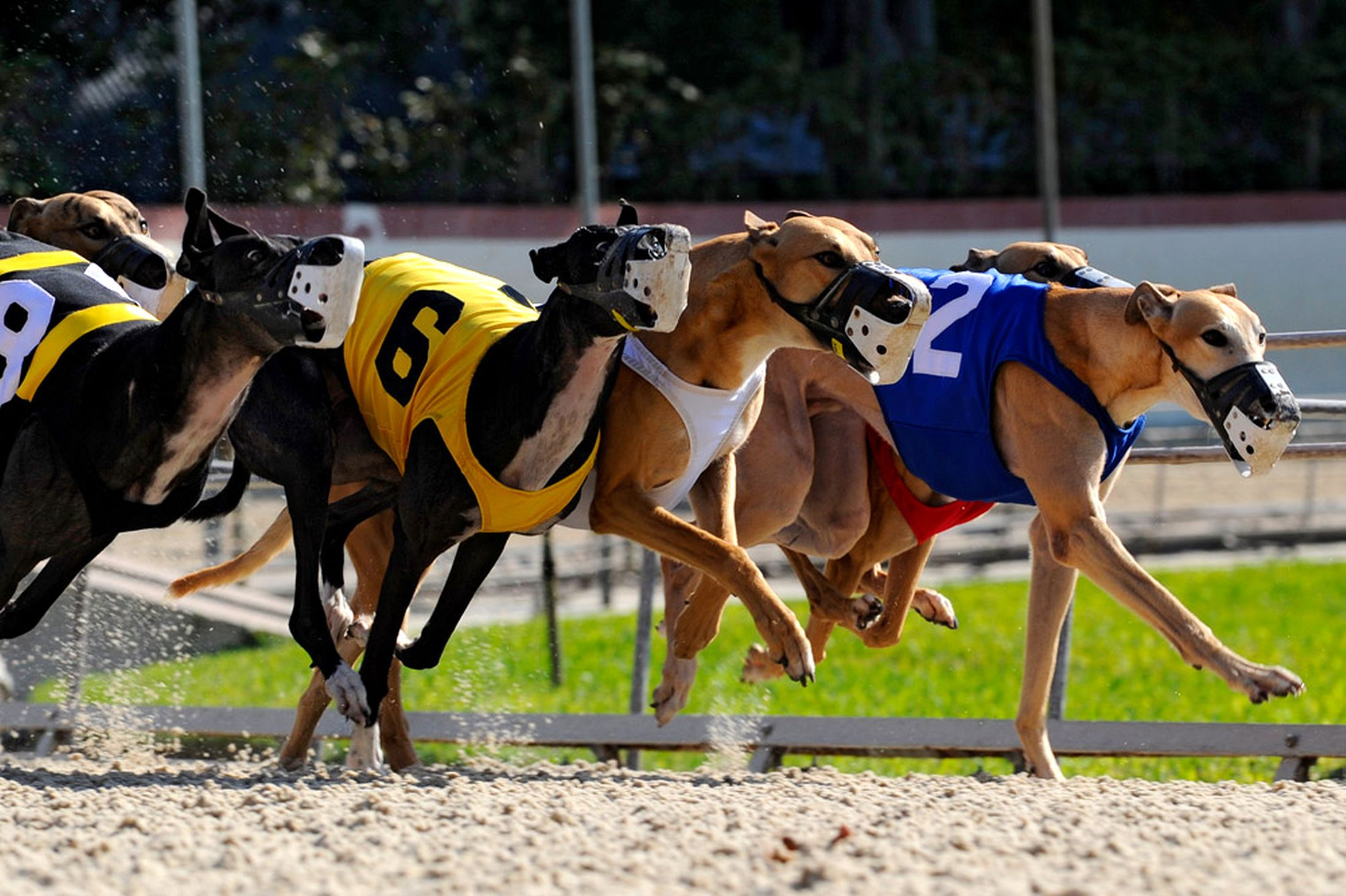 Greyhound Dog Racing Videos Download