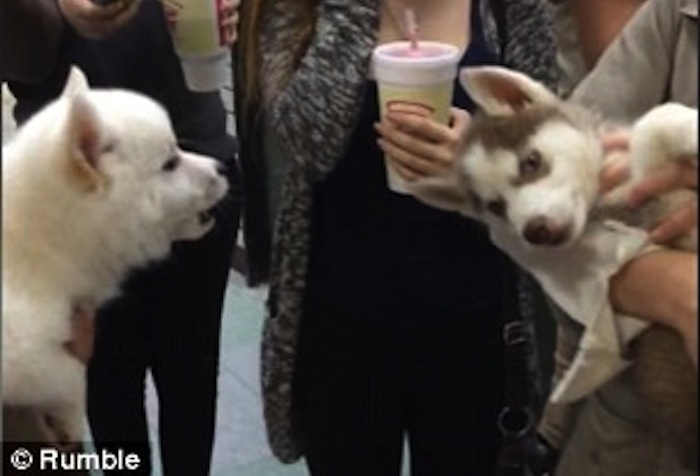 Shiba Inu And Husky Puppies Have Best Conversation Ever