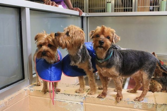 Yorkiepalooza Is Over - 18 Yorkies In Pittsburgh Have Their Forever Homes