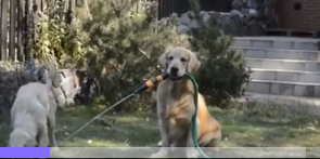 Watch As This Thoughtful Golden Helps Out A Thirsty Friend