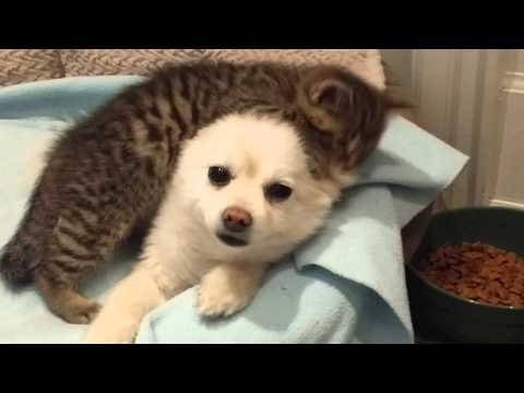 What Happens When The Kitten Falls In Love With The Family Dog