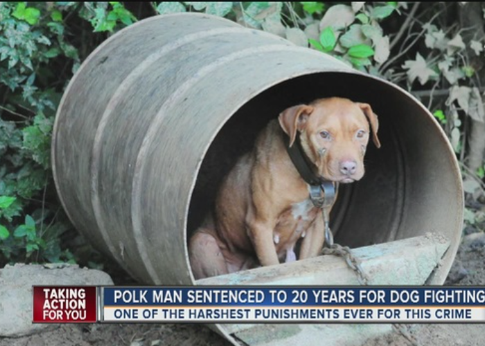 Guilty Man Given Longest Sentence For Dog Fighting Case