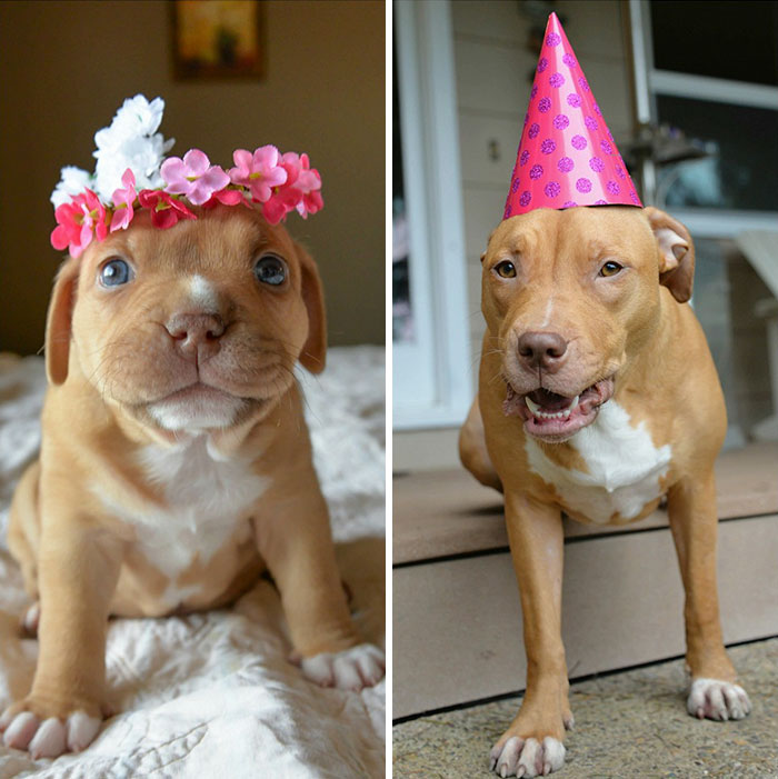 Sweet Penny The Miracle Pitbull Celebrates Her First Birthday With Her Foster Family