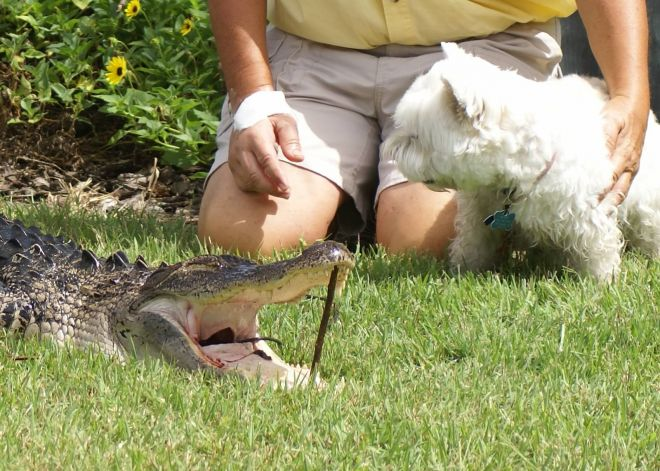 Hero Grandfather Rescues Dog From Alligator