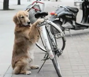 No lock needed, dog guards owner's bike